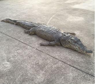 Picture of Crocodile- latex